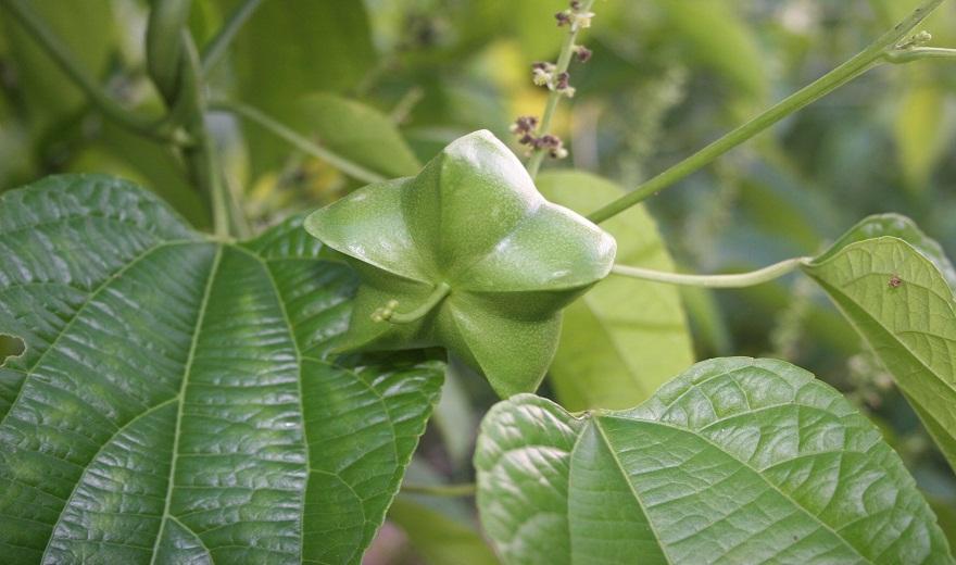 Tìm hiểu cây sachi là gì? 7 tác dụng vi diệu của hạt sachi